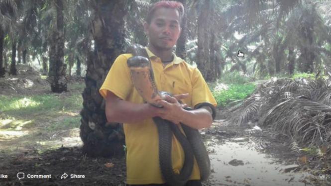 Pria memegang king cobra besar.