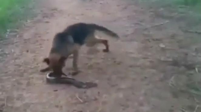 Anjing gigit belut.