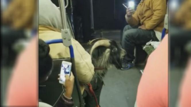 Penumpang bawa kambing naik bus.