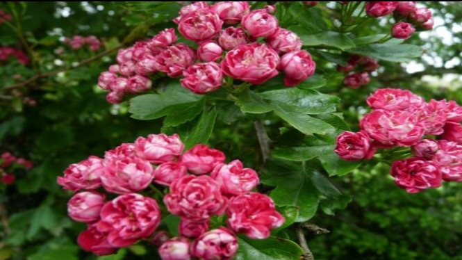 Bunga hawthorn.