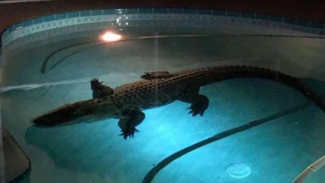 Buaya ditemukan di kolam renang rumah di Florida, AS