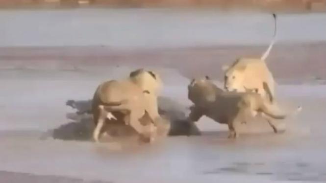 Pertarungan buaya lawan tiga singa.
