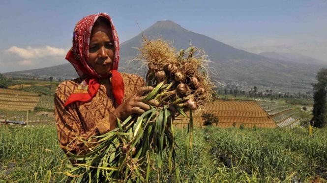 Seorang warga memanen bawang putih.