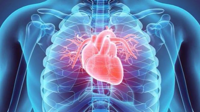 Ilustrasi organ jantung.