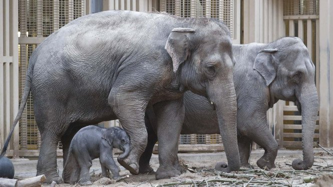 Lucunya Tingkah Bayi Gajah Asia Di Kebun Binatang