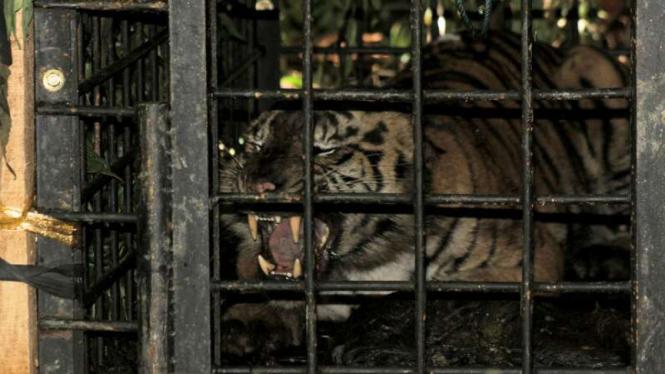 Seekor anak harimau Sumatra yang tertangkap di kawasan hutan Palupuah, Kabupaten Agam, Sumatra Barat, pada Sabtu, 14 April 2018.