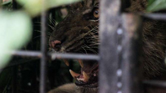 Ditemukan Jejak-jejak Baru Harimau Sumatra di Agam