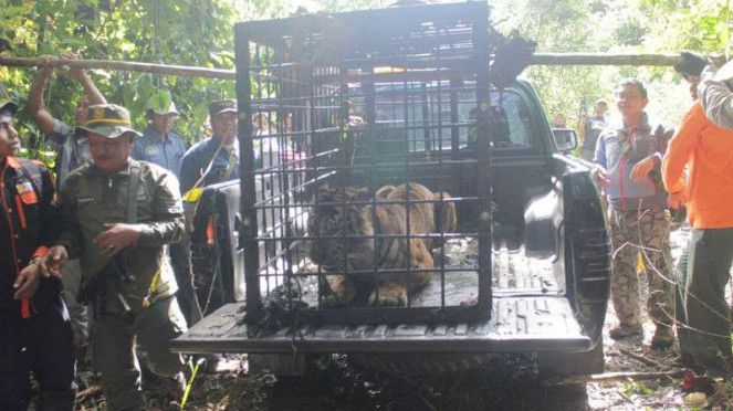 Harimau yang Ditangkap di Sumbar Dinamai Sopi Rantang