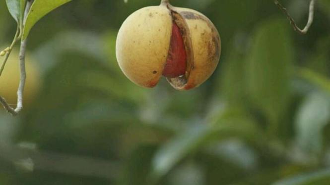 Ilustrasi buah pala