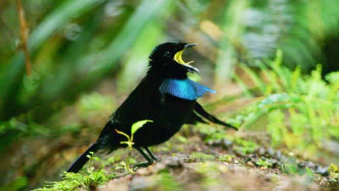 Burung cendrawasih Vogelkop (Lophorina niedda)