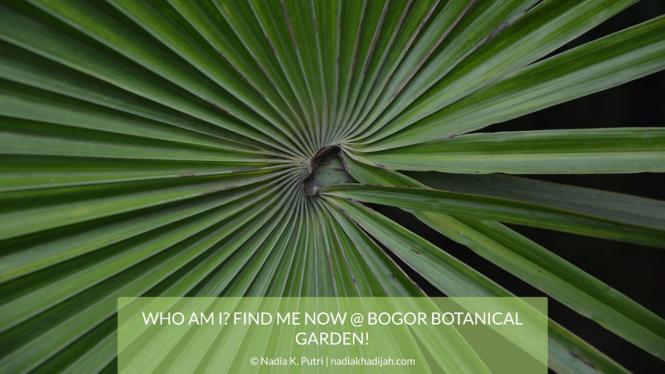 Salah satu pohon palem di Kebun Raya Bogor.