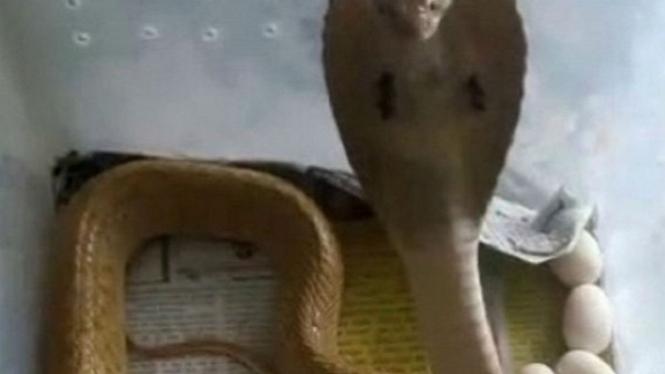 Ular kobra bertelur.