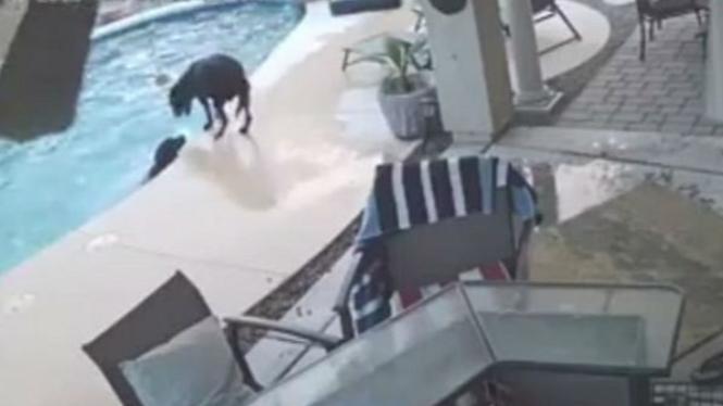 Anjing selamatkan sahabatnya yang tidak bisa berenang.