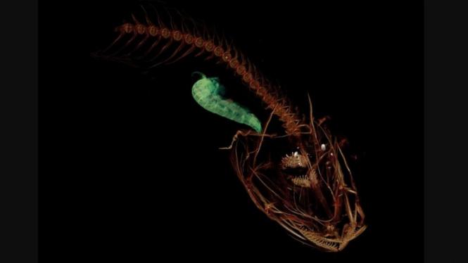 Ikan Mariana Pseudoliparis swirei