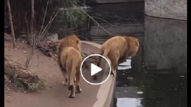 Detik-detik singa jantan besar oleng.