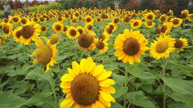 8000+ Gambar Bunga Matahari Kebun HD Gratis