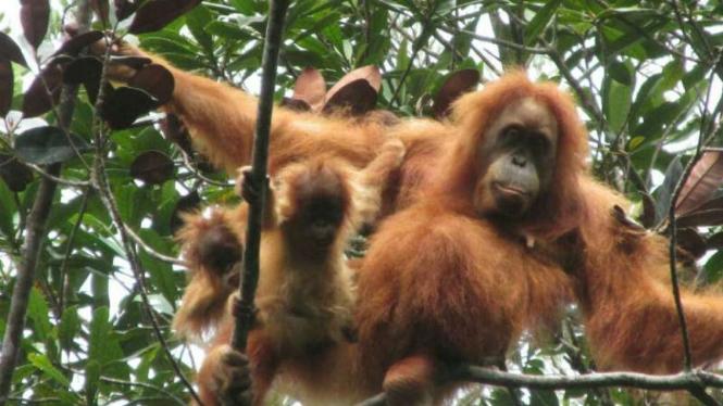 Seekor induk orang utan terlihat bersama dua bayi kembarnya di Hutan Batang Toru, Sumatra Utara.