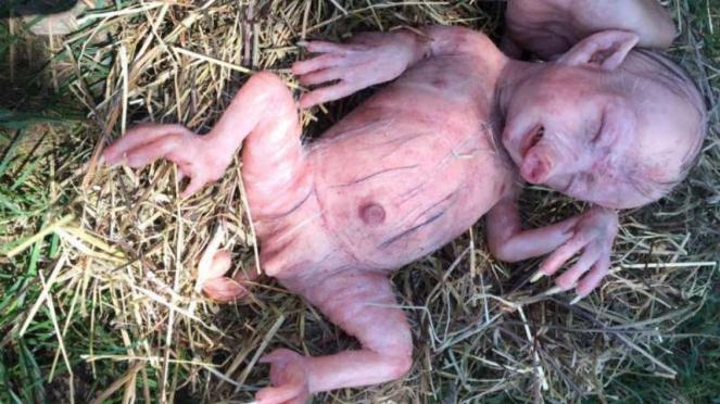 101 Gambar Muka Babi Paling Bagus