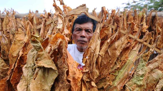 Petani menjemur daun tembakau di Sidomulyo, Senden, Selo, Boyolali, Jawa Tengah.