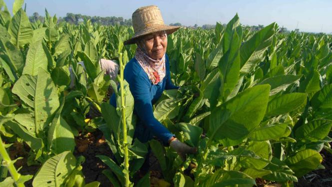 Buruh  memanen tembakau di Desa Dasuk, Pamekasan, Jawa Timur