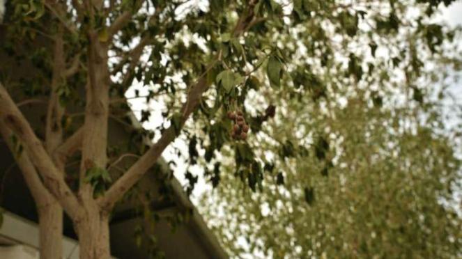 Pohon Soekarno atau Pohon Mindi