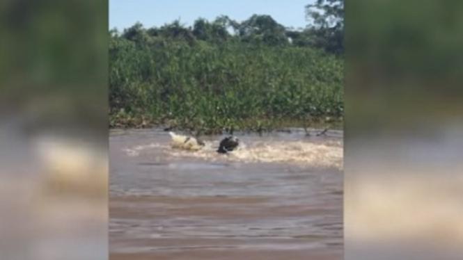 Macan tutul vs buaya di dalam air.