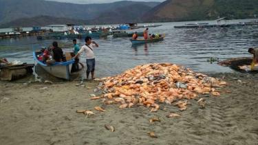 Jutaan ekor ikan di Danau Toba mendadak mati.