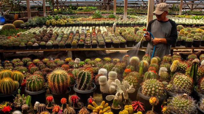 Budidaya tanaman kaktus di Bandung, Jawa Barat