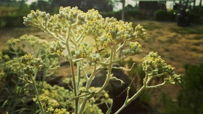 Bunga edelweis, bunga endemik Gunung Bromo dan Gunung Semeru