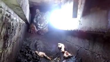 https://thumb.viva.co.id/media/frontend/thumbs3/2018/11/16/5beec619335f3-harimau-terjebak-di-kolong-ruko-di-riau-jalan-40-km-untuk-mencari-makan_375_211.jpg