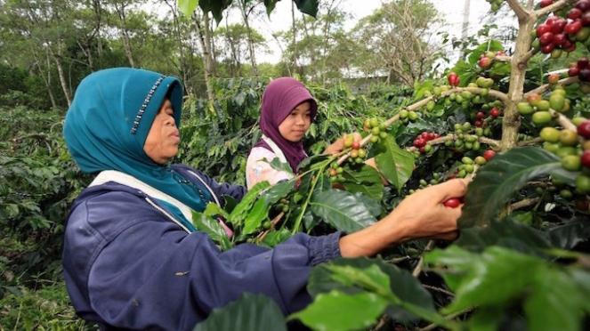 Kopi Gayo. Sumber foto: Pesona Indonesia.
