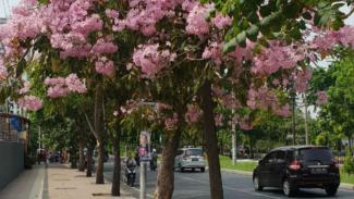 Bunga Tabebuya di Kota Surabaya, Jawa Timur.
