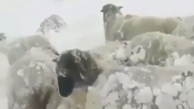 Kambing terjebak salju.