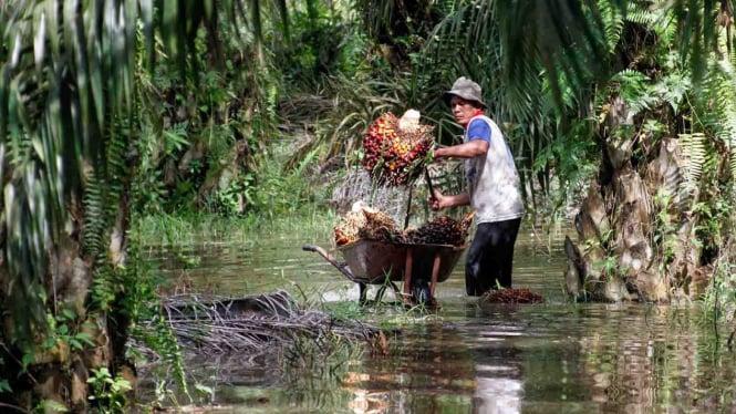 Petani kelapa sawit memanen tandan buah segar kelapa sawit di tengah banjir luapan Sungai Kampar di Desa Kualu Kabupaten Kampar, Riau