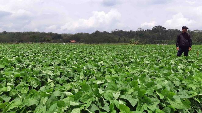 Tanaman edamame atau kedelai jepang di lahan milik PT Kenkyo Foods Tech Industry yang berada di Temanggung, Jawa Tengah