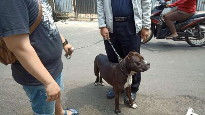 Jecky, Anjing Pitbull Serang Satpam Tak Rabies