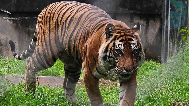 Harimau Sumatera.