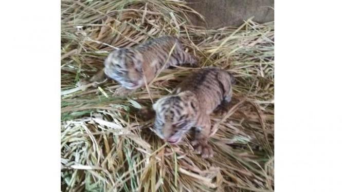 Bayi Harimau Sumatera lahir