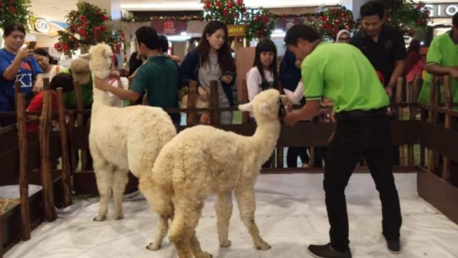 Alpaca asal Amerika Selatan di Tangerang City Mall