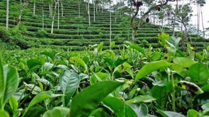 Ilustrasi kebun teh.
