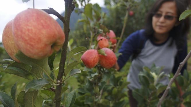 Wisata Petik Buah Apel