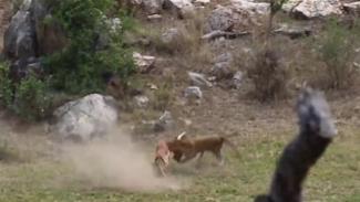 https://thumb.viva.co.id/media/frontend/thumbs3/2019/01/04/5c2efcc1f181b-detik-detik-macan-tutul-terkam-rusa-impala-di-udara-saat-melarikan-diri_325_183.jpg