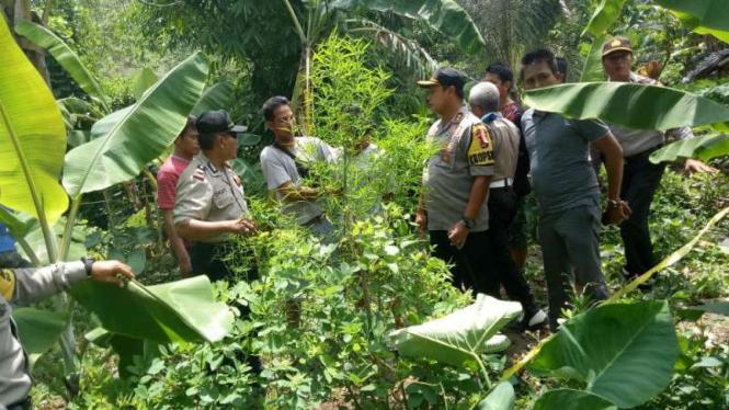 Polisi menggerebek satu kebun ganja di Desa Jenggala, Kecamatan Tanjung, Lombok Utara, Nusa Tenggara Barat, Jumat, 11 Januari 2019.