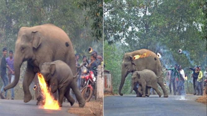 Potret Miris Induk Gajah Dan Anaknya Dilempari Bola Api Oleh Warga