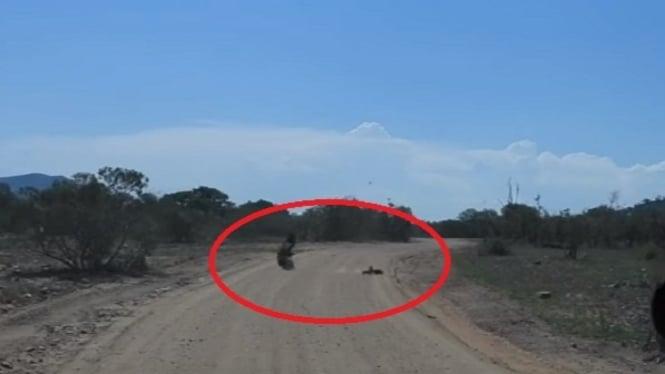 Detik-detik Elang Menyambar Babi Hutan Dalam Kecepatan Tinggi