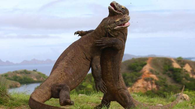 Gubernur Ntt Ingin Tutup Sementara Pulau Komodo, Ini Kata Pengelola