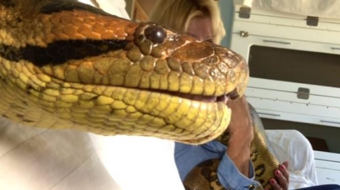 Ular anaconda besar.