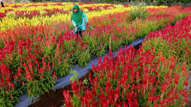 Menikmati Cantiknya Taman Bunga Celosia Di Aceh