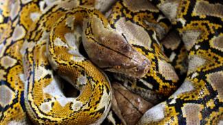 Ular Sanca batik (Python reticulatus) pemangsa ternak serahan warga diamankan dipenangkaran Balai Konservasi Sumber Daya Alam (KSDA) Aceh wilayah I Lhokseumawe, Aceh