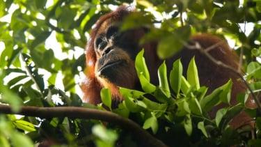 https://thumb.viva.co.id/media/frontend/thumbs3/2019/01/31/5c526448a18e4-bagaimana-orangutan-dan-binatang-yang-dirawat-manusia-dikembalikan-ke-alam-liar_375_211.jpg